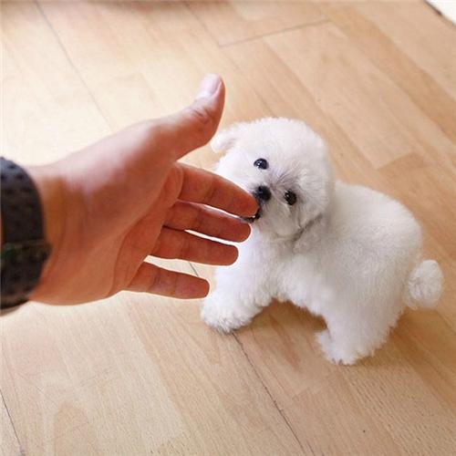 泰迪犬幼犬出售中,纯度第一价位最低,购犬可签协议3