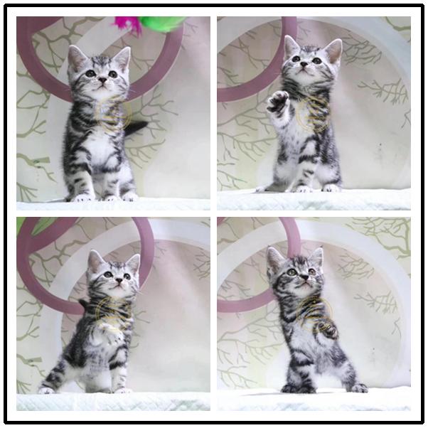 精品美国短毛蓝猫幼猫活体纯种家养宠物猫咪疫苗齐全公母均有