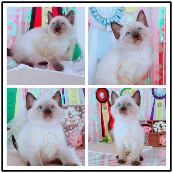 正规暹罗猫猫舍、官网推荐猫舍、终身质保、可签购猫协议