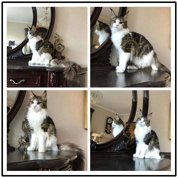 家养纯种活体布偶加菲英短美短豹猫折耳波斯猫缅因宠物猫猫