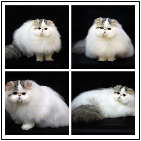出售波斯大爆猫波斯猫黄白波斯猫幼猫幼崽 健康无藓纯正血统