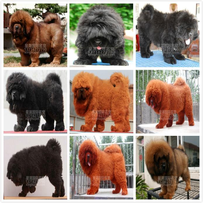 长期繁殖狮头虎头大藏獒 各类纯种名犬 包养活签协议9