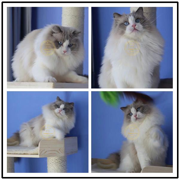 纯种布偶猫活体幼猫海豹色白手套重点色布偶猫幼猫