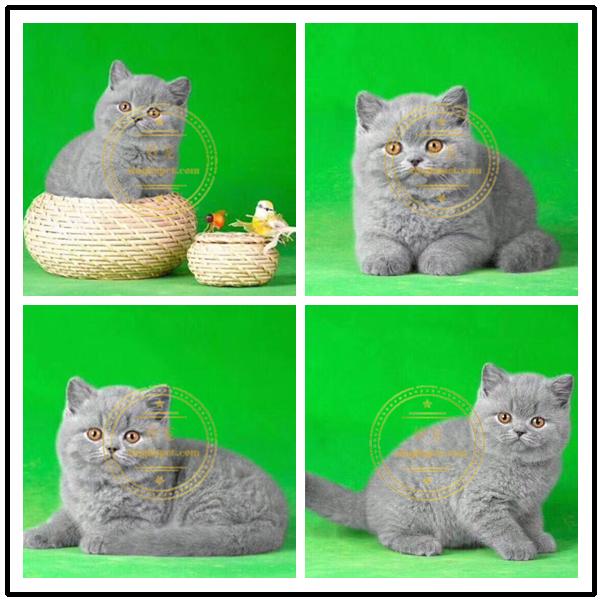 纯种英国短毛猫俄罗斯蓝猫包子脸英短猫蓝猫咪健康无藓血统纯正