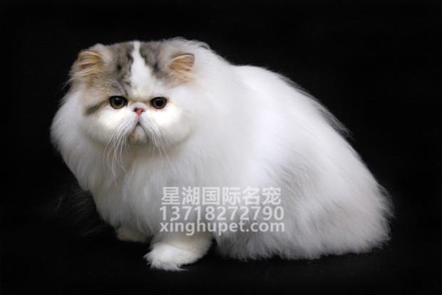 出售波斯大爆猫波斯猫黄白波斯猫幼猫幼崽健康无藓纯正血统