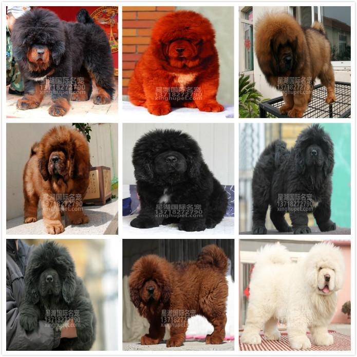 长期繁殖狮头虎头大藏獒 各类纯种名犬 包养活签协议10