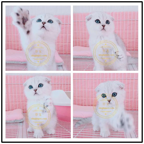 出售纯种英国短毛猫 英短蓝猫 英短蓝白猫 折耳猫宠物活体