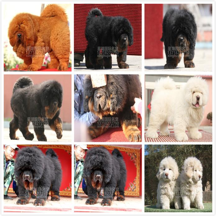 长期繁殖狮头虎头大藏獒 各类纯种名犬 包养活签协议6