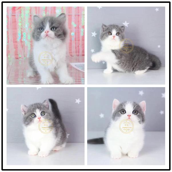 猫舍出售曼基康矮脚猫活体宠物猫蓝白矮脚幼猫拿破仑短腿猫
