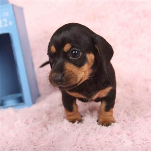 官方保障|专业繁殖腊肠犬 签协议带证书可上门挑选