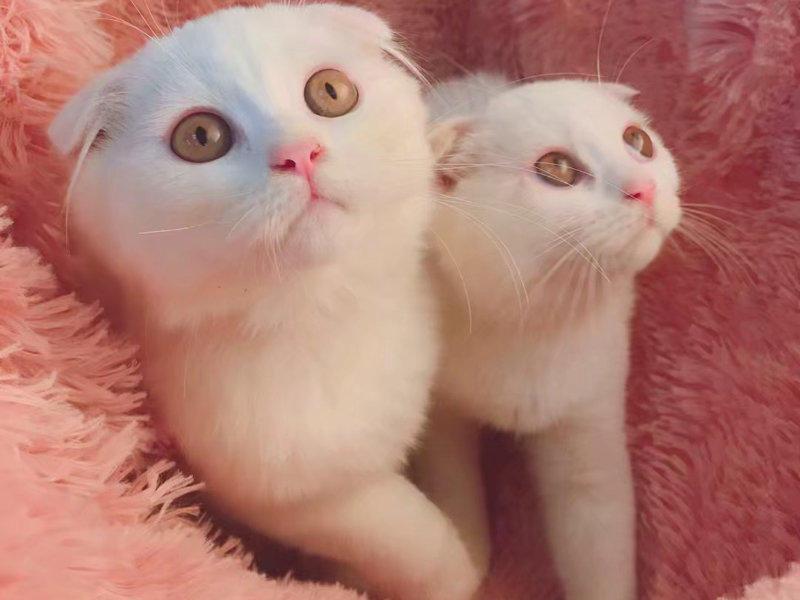 宠物猫,英短蓝猫、蓝白、银、金、蓝金渐层现货出售