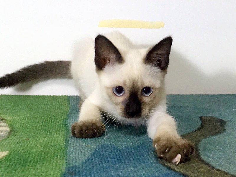 广州哪里有卖暹罗猫,出售家养暹罗猫 包健康
