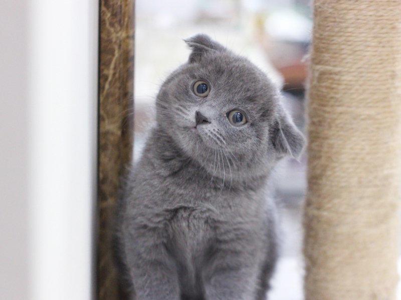 包健康 包疫苗 纯种英国短毛猫折耳猫蓝白蓝猫