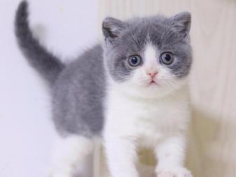 自家猫舍繁殖纯种蓝猫蓝白渐层折耳暹罗英短美短小猫