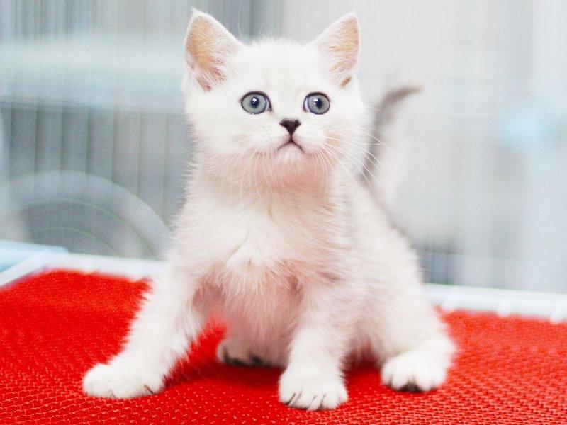 出售英国短毛猫英短蓝猫活体蓝白幼猫纯种家养银渐层