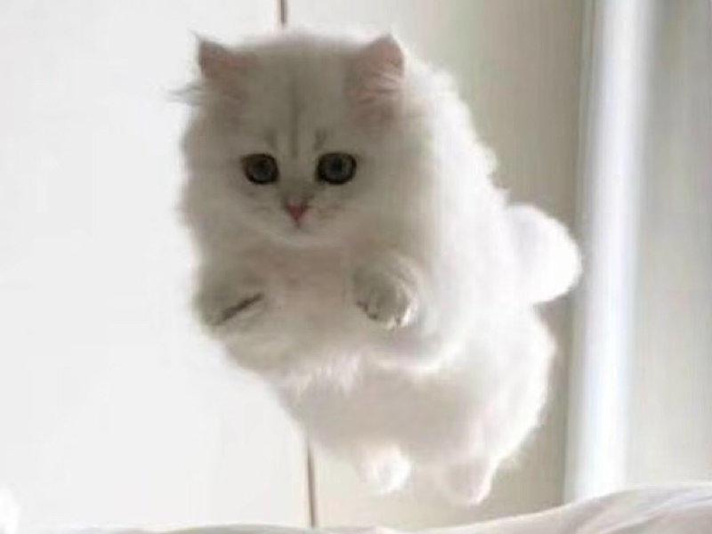 出售金吉拉 幼猫活体 纯种白色家养大眼睛幼猫金吉拉