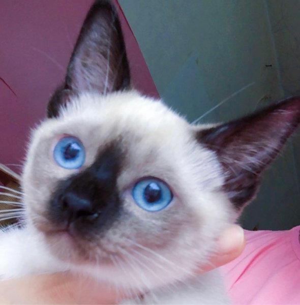 纯种小黑工暹罗猫 家养可爱小猫咪无病无藓