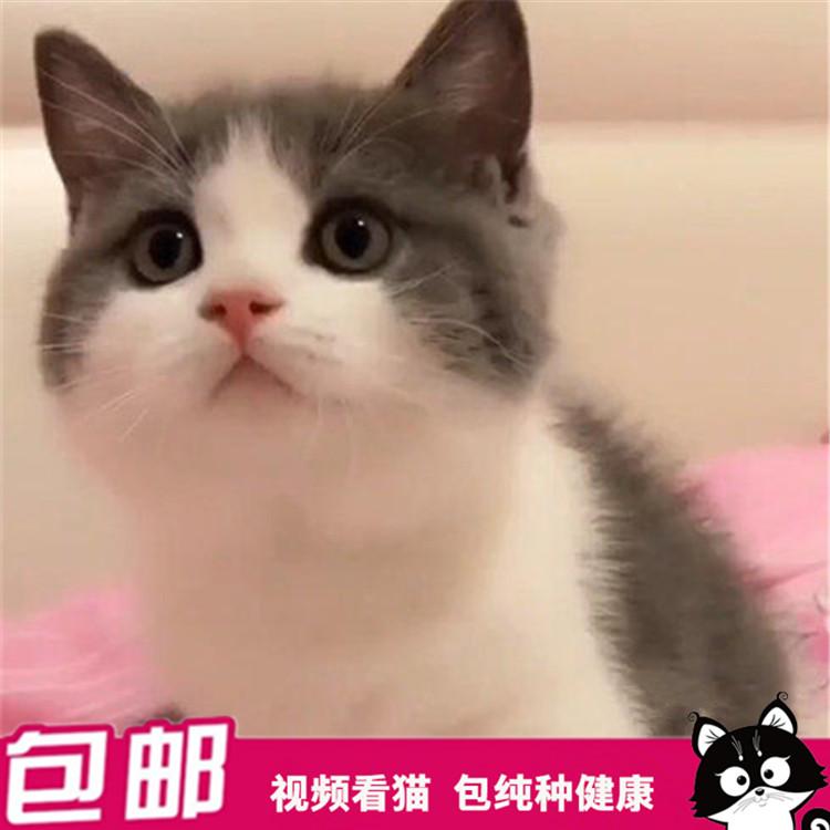 杭州哪里有卖短毛猫,家养美短英短猫,包健康