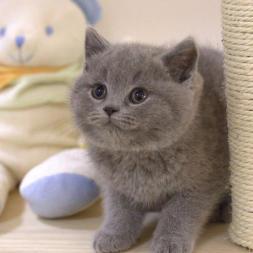 萌萌哒加蓝猫出售,美短猫出售,疫苗齐全包养活