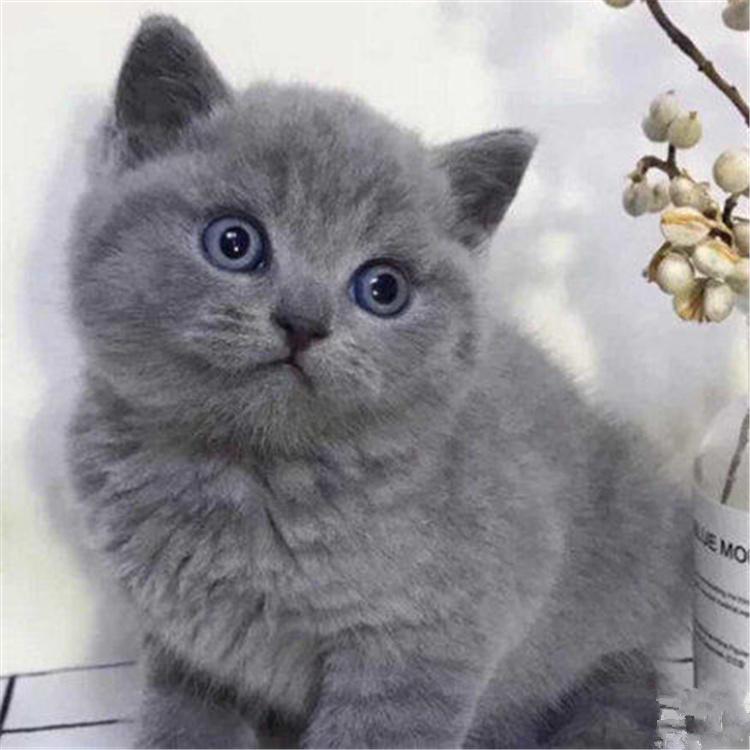 杭州哪里有蓝猫卖 杭州哪里猫咪便宜 杭州哪里猫咪最好