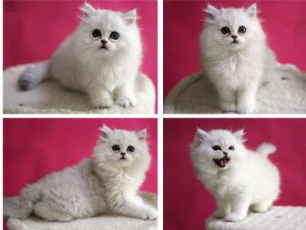 出售长毛猫金吉拉活体幼猫宠物猫绿眼银灰色金吉拉活体
