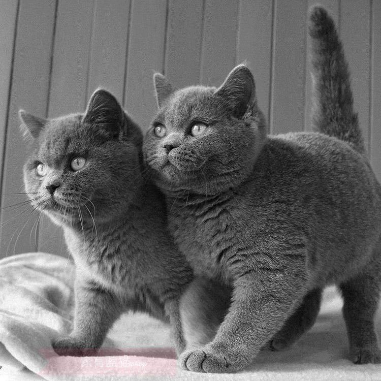 自家猫舍繁殖大包子脸橘眼巨萌蓝猫 三包协议