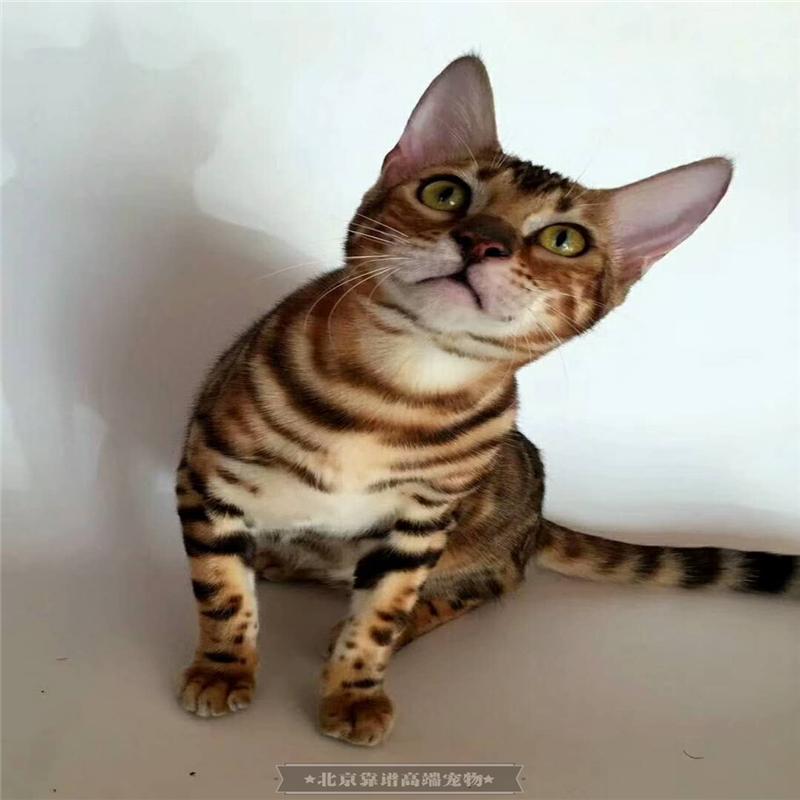 豹猫活体纯种宠物猫幼猫家养孟加拉猫咪幼崽巨型银豹家养空心