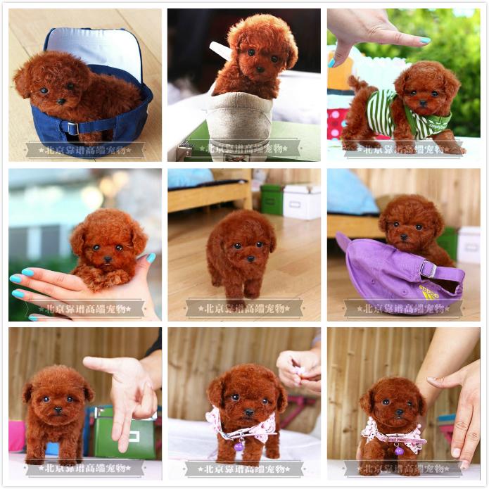 纯种泰迪、精品泰迪幼犬、保纯种健康、给宝宝们找新家9