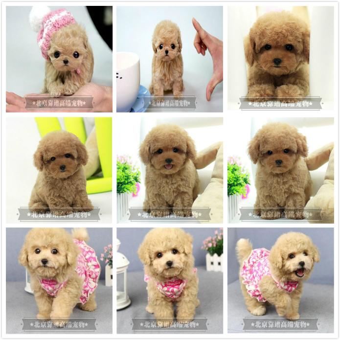 纯种泰迪、精品泰迪幼犬、保纯种健康、给宝宝们找新家10