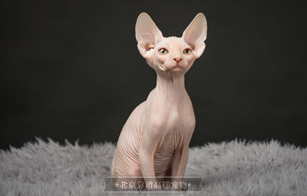 纯种无毛猫幼猫活体无毛宠物猫白皮蓝眼卷耳无毛猫家养