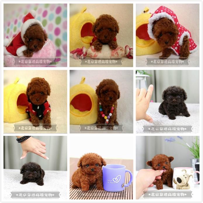 纯种泰迪、精品泰迪幼犬、保纯种健康、给宝宝们找新家5