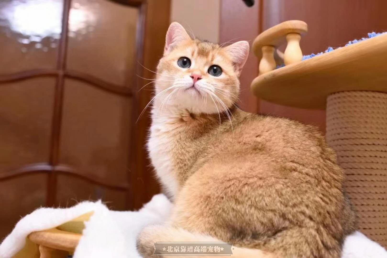 现货精品宠物级猫咪正规猫舍繁育京津翼可送货上门