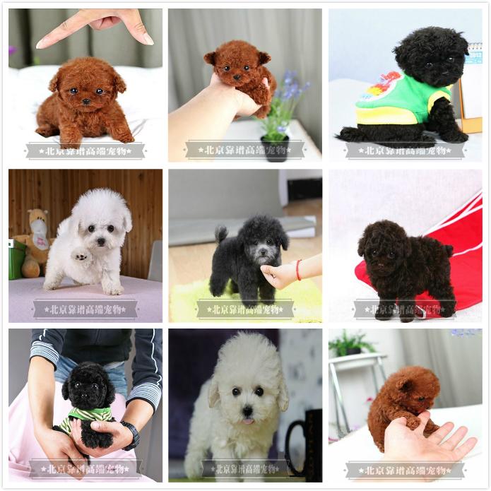 纯种泰迪、精品泰迪幼犬、保纯种健康、给宝宝们找新家7