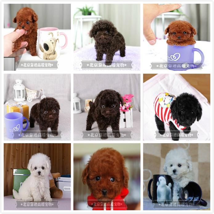 纯种泰迪、精品泰迪幼犬、保纯种健康、给宝宝们找新家6
