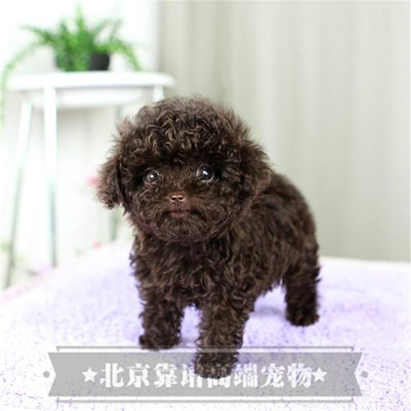 纯种泰迪、精品泰迪幼犬、保纯种健康、给宝宝们找新家2