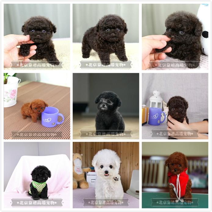 纯种泰迪、精品泰迪幼犬、保纯种健康、给宝宝们找新家8