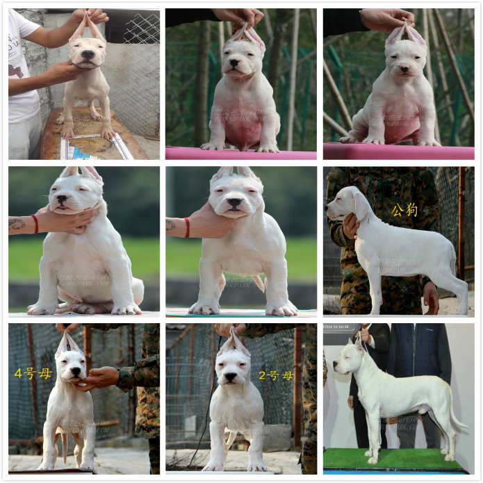 长期繁殖杜高卡斯罗马犬 各类纯种名犬 包养活签协议5
