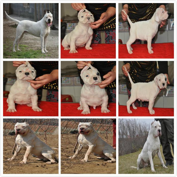 长期繁殖杜高卡斯罗马犬 各类纯种名犬 包养活签协议7