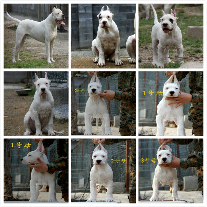 长期繁殖杜高卡斯罗马犬 各类纯种名犬 包养活签协议6