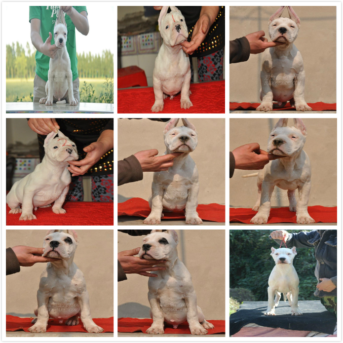 长期繁殖杜高卡斯罗马犬 各类纯种名犬 包养活签协议8