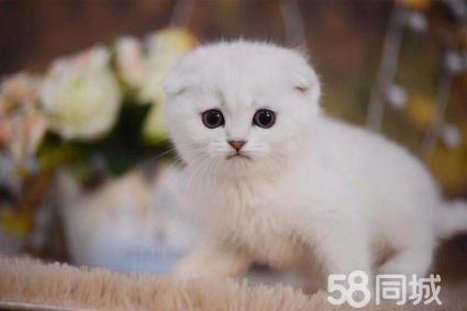 成都高品质英短、美短、金吉拉等品种猫咪包纯种保健康