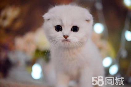 金华高品质英短、美短、金吉拉等品种猫咪包纯种保健康