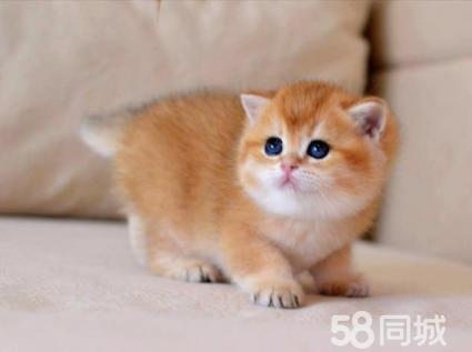 中山高品质英短、美短、金吉拉等品种猫咪包纯种保健康