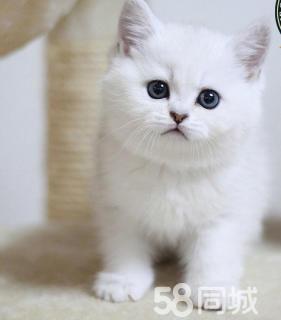 本地家庭式繁殖英短蓝猫,蓝白 包健康 买猫送用品