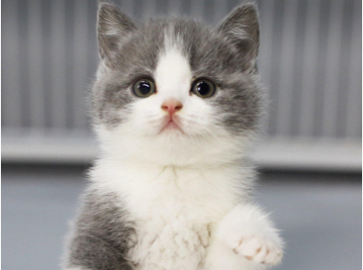 出售美短 蓝白 蓝猫 渐层 暹罗金吉拉健康可上门