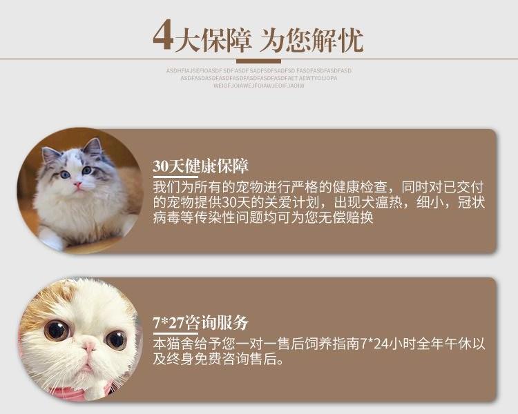 出售纯种波斯猫 加菲猫 活体宠物幼猫 异国短毛 包邮7