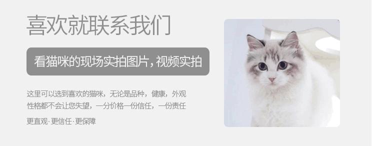 出售纯种波斯猫 加菲猫 活体宠物幼猫 异国短毛 包邮9