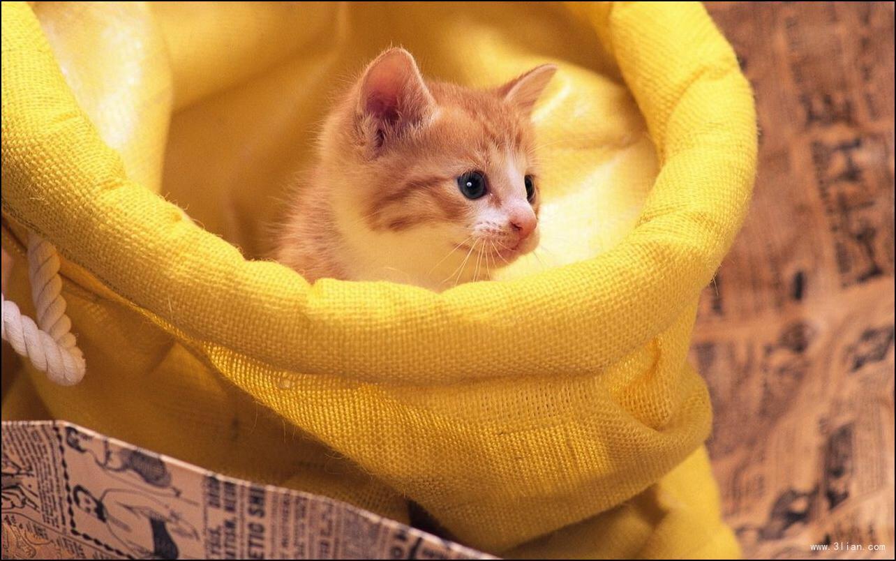 出售纯种波斯猫 加菲猫 活体宠物幼猫 异国短毛包邮