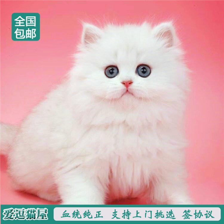 出售纯种波斯猫 加菲猫 活体宠物幼猫 异国短毛 包邮2