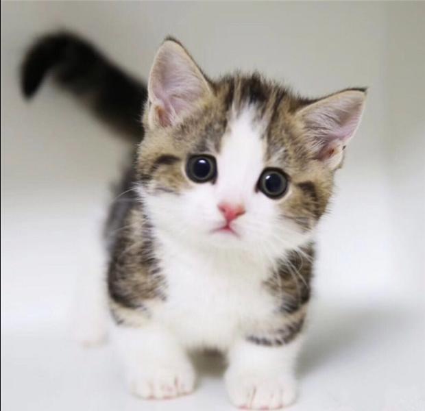 出售纯种美国短毛猫 美短加白宠物猫咪 折耳银虎斑起司猫活体